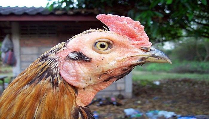 Penyebab Ayam Bangkok Pucat