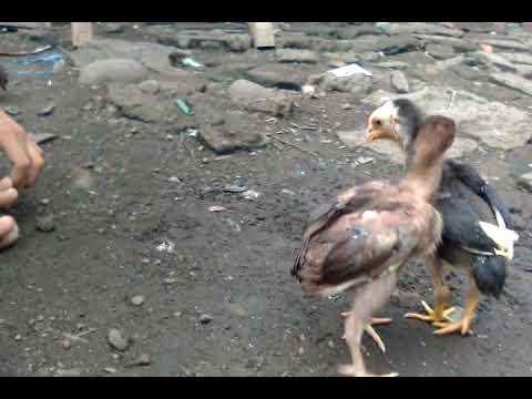 Perawatan Anak Ayam Siam