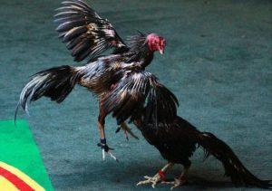 Pukulan Dada Ayam Bangkok