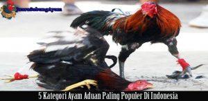 5 kategori ayam aduan yang paling populer di indonesia
