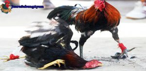 9 jenis ayam aduan populer selain ayam bangok
