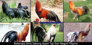 beberapa jenis sabung ayam taji dari negeri filipina