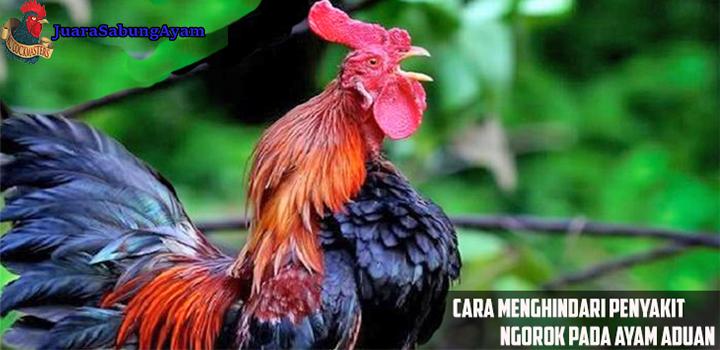 cara menghindari penyakit ngorok pada ayam aduan