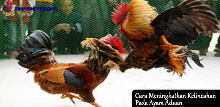 cara meningkatkan kelincahan pada ayam aduan