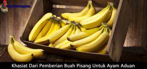 khasiat dari pemberian buah pisang untuk ayam aduan