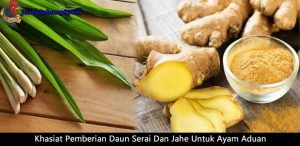 khasiat pemberian daun serai dan jahe untuk ayam aduan