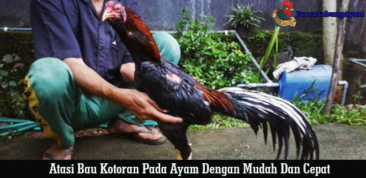 atasi bau kotoran pada ayam dengan mudah dan cepat