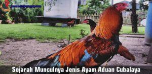 sejarah munculnya jenis ayam aduan cubalaya
