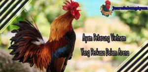 Ayam Petarung Vietnam Yang Perkasa Dalam Arena