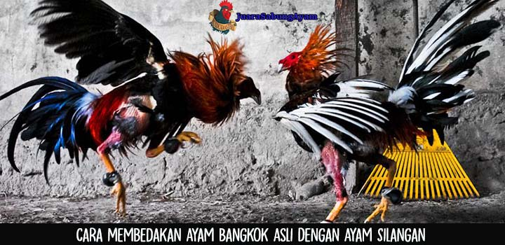 Cara Membedakan Ayam Bangkok Asli Dengan Ayam Silangan