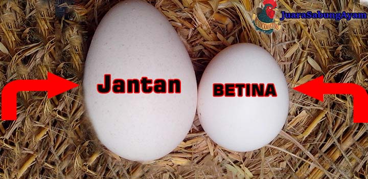 Cara Membedakan Telur Ayam Bangkok Jantan Dan Betina