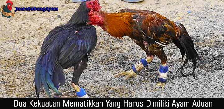 Dua Kekuatan Mematikkan Yang Harus Dimiliki Ayam Aduan