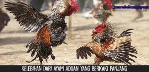 Kelebihan Dari Ayam Aduan Yang Berkaki Panjang
