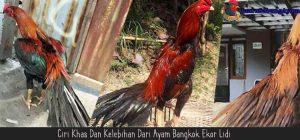 Ciri Khas Dan Kelebihan Dari Ayam Bangkok Ekor Lidi