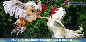 Ciri-ciri Fisik Ayam Bangkok Yang Memiliki Pukulan Mematikan