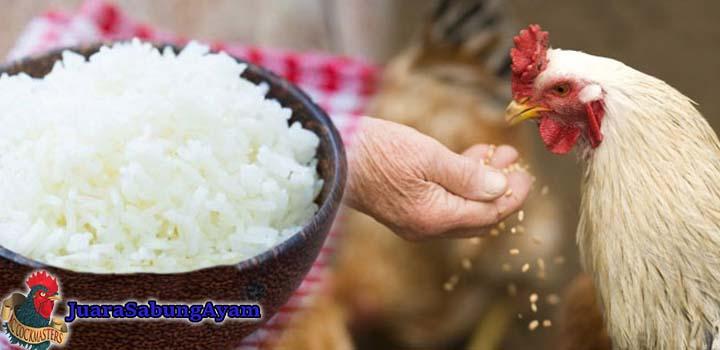 Manfaat Nasi Putih Untuk Ayam Aduan Bangkok