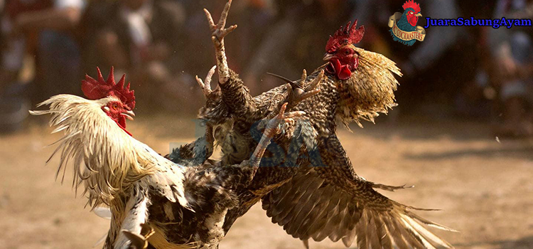 ayam pukul depan