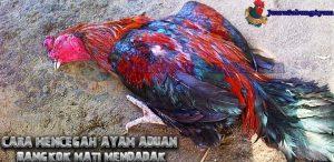 Cara Mencegah Ayam Aduan Bangkok Mati Mendadak