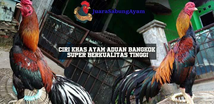 Ciri Khas Ayam Aduan Bangkok Super Berkualitas Tinggi