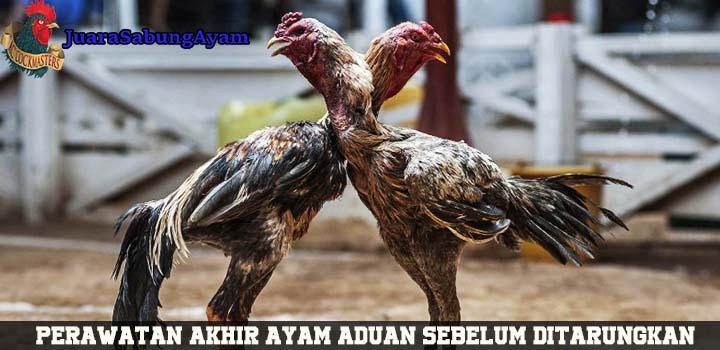 Perawatan Akhir Ayam Aduan Sebelum Ditarungkan