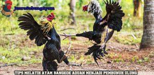 Tips Melatih Ayam Bangkok Aduan Menjadi Pembunuh Ulung