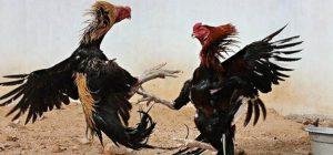 teknik ayam