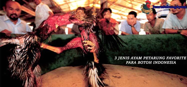 3 Jenis Ayam Petarung Favorite Para Botoh Indonesia