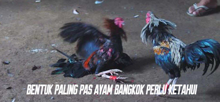 Bentuk Paling Pas Ayam Bangkok Perlu Ketahui