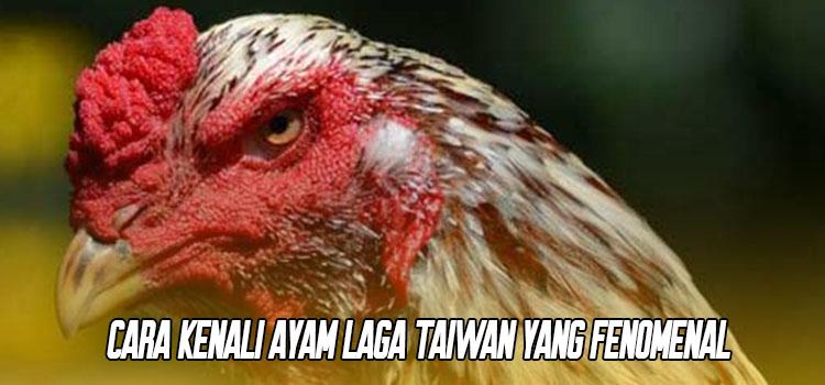 Cara Kenali Ayam Laga Taiwan Yang Fenomenal