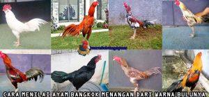 Cara Menilai Ayam Bangkok Menangan Dari Warna Bulunya