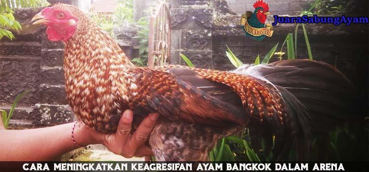 Cara Meningkatkan Keagresifan Ayam Bangkok Dalam Arena