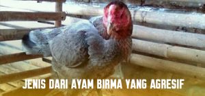 Jenis Dari Ayam Birma Yang Agresif