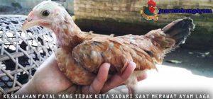 Kesalahan Fatal Yang Tidak Kita Sadari Saat Merawat Ayam Laga