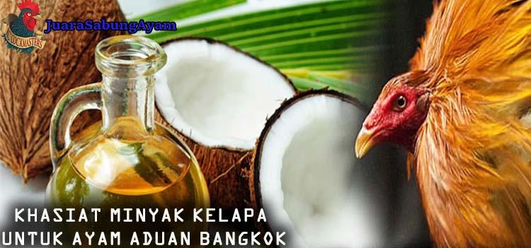 Khasiat Minyak Kelapa Untuk Ayam Aduan Bangkok