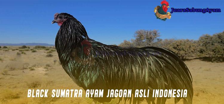 Black Sumatra Ayam Jagoan Asli Indonesia