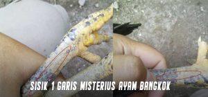 Sisik 1 Garis Misterius Ayam Bangkok