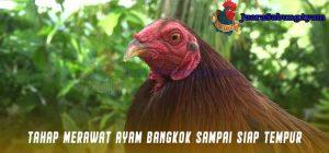 Tahap Merawat Ayam Bangkok Sampai Siap Tempur