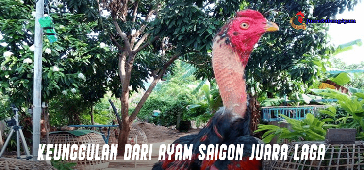 Keunggulan Dari Ayam Saigon Juara Laga