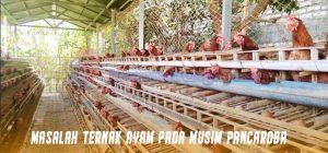 Masalah Ternak Ayam Pada Musim Pancaroba