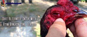Obat Alternatif Untuk Mata Ayam Bangkok Yang Terluka