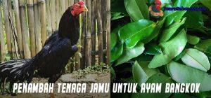 Penambah Tenaga Jamu Untuk Ayam Bangkok
