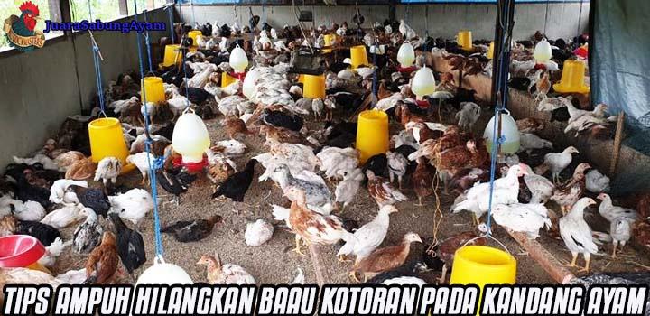 Tips Ampuh Hilangkan Bau Kotoran Pada Kandang Ayam