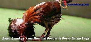 Ayam Bangkok Yang Memiliki Pengaruh Besar Dalam Laga