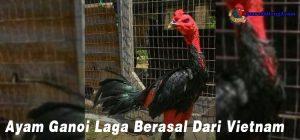 Ayam Ganoi Laga Berasal Dari Vietnam