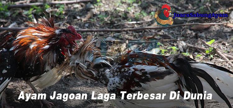 Ayam Jagoan Laga Terbesar Di Dunia
