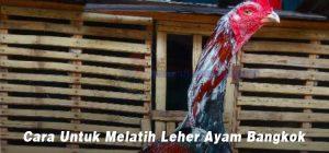 Cara Untuk Melatih Leher Ayam Bangkok