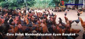 Cara Untuk Membudidayakan Ayam Bangkok