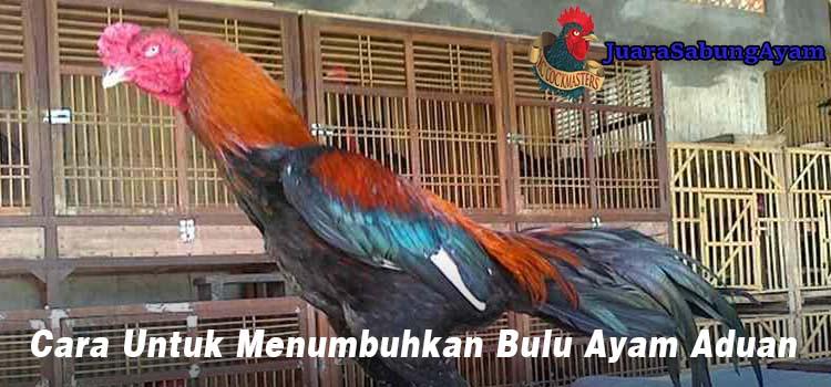 Cara Untuk Menumbuhkan Bulu Ayam Aduan