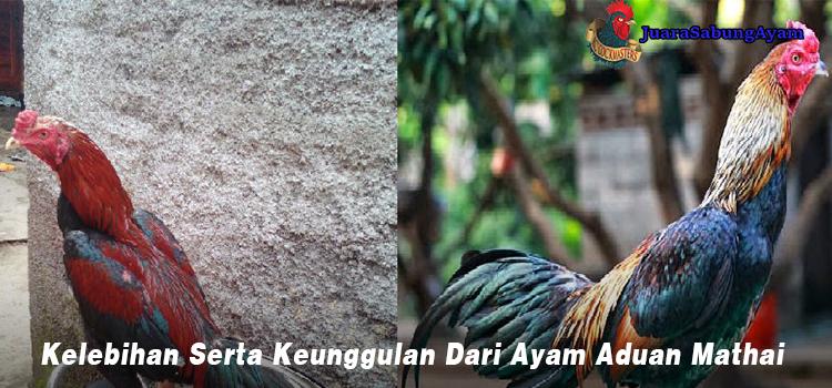 Kelebihan Serta Keunggulan Dari Ayam Aduan Mathai