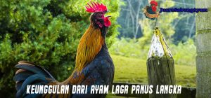 Keunggulan Dari Ayam Laga Panus Langka